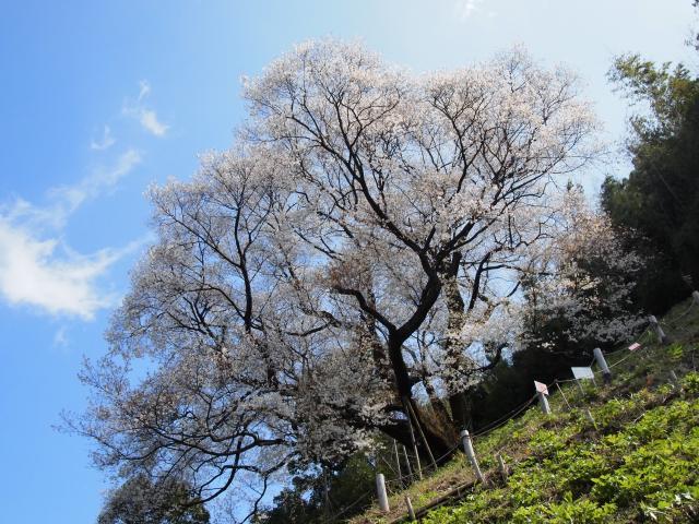 奥迫川の桜